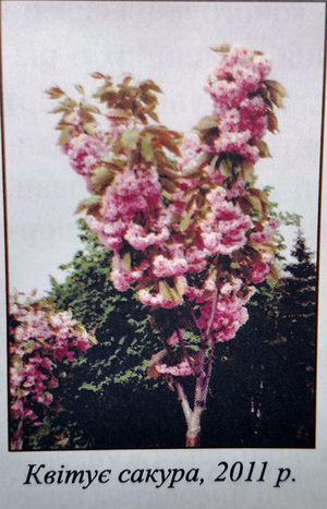 десяток экзотических сакур штамбовой формы, которые радуют весной своим необычными розовыми цветами
