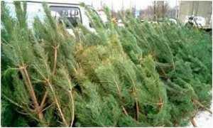 В Кременчуге начата предпраздничная торговля елками.
