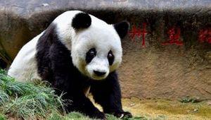 Панда Сусу, старейшая самка бамбукового медведя скончалась