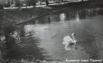 Лебеди на озере «Гарячка» в Кременчуге - фото 1627