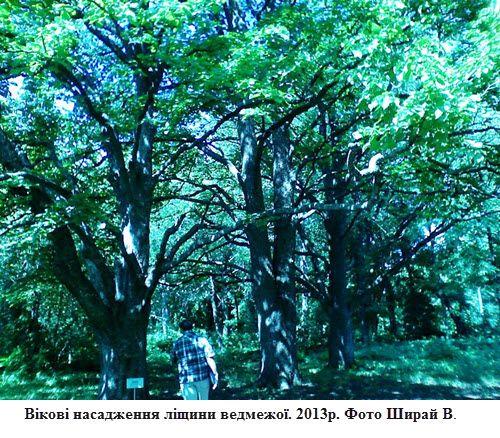 Вікові насадження ліщини ведмежої. 2013р. Фото Ширай В