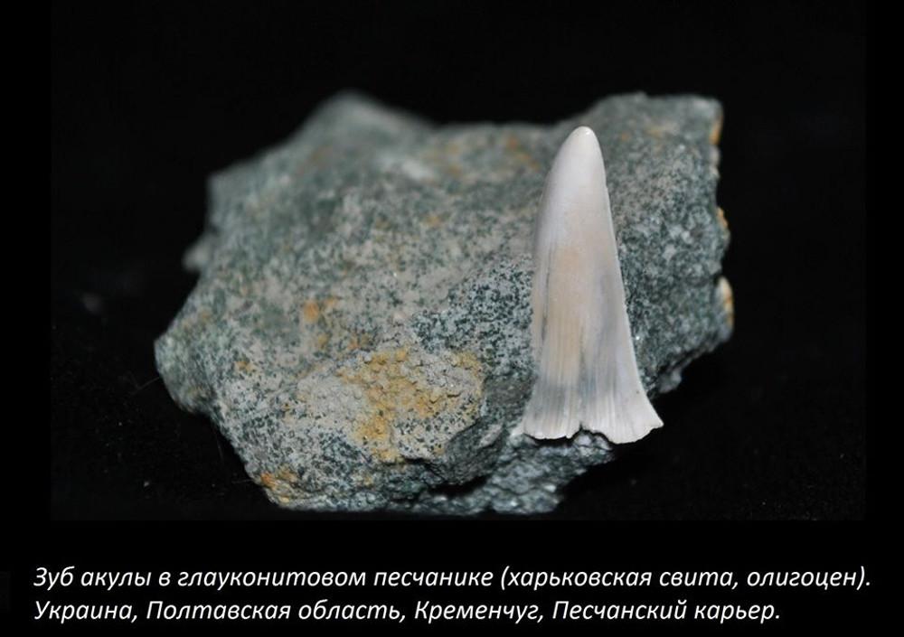 Зуб акулы в глауконитовом песчанике фото номер 2334